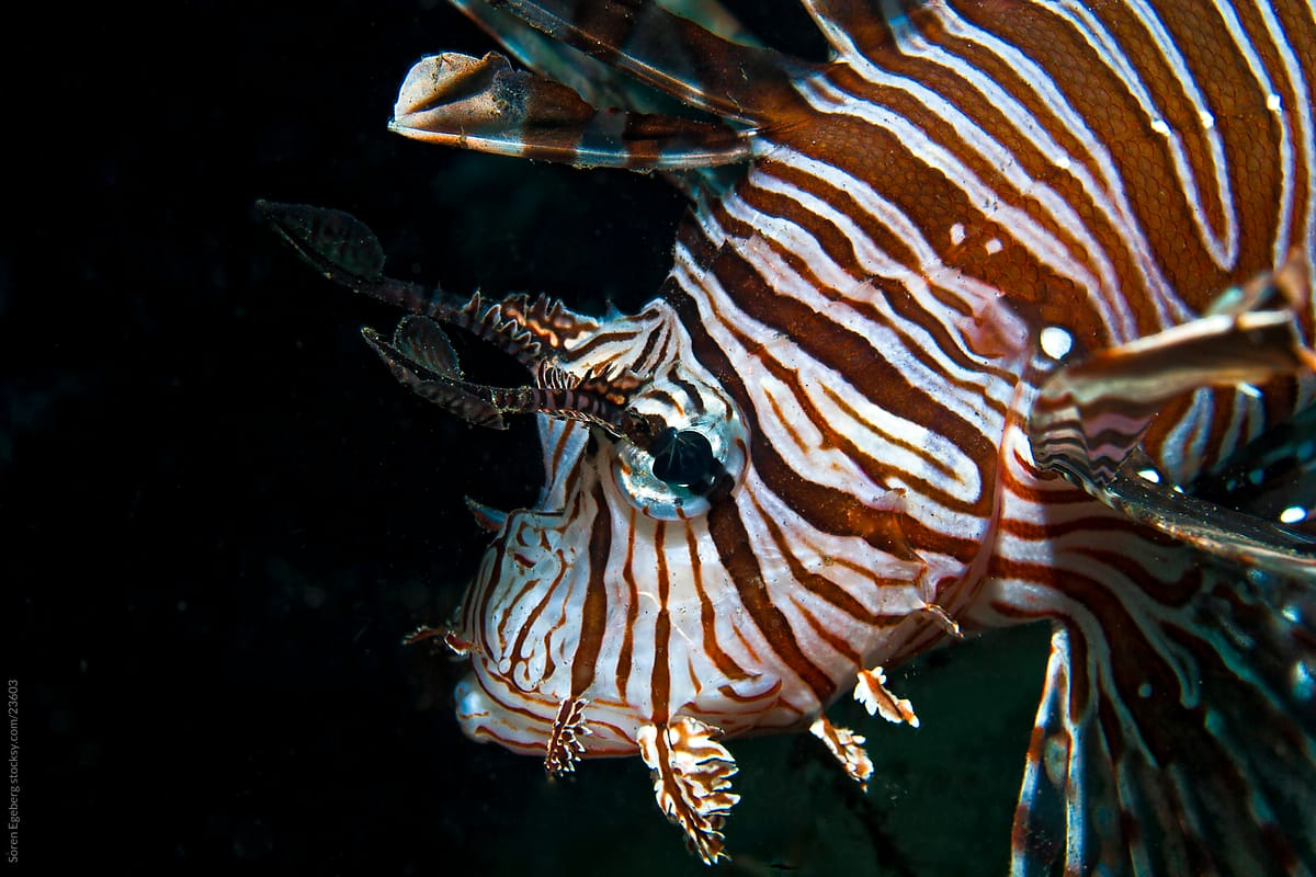 lionfish swimming on reef photo