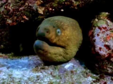 fangtooth moray eel