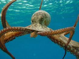 large octopus photo