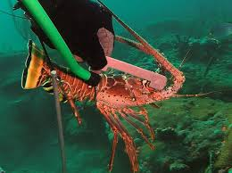 Measuring a live Florida spiny lobster underwater